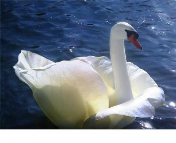 Rose Swan.jpg